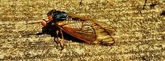 Periodical Cicada 2017