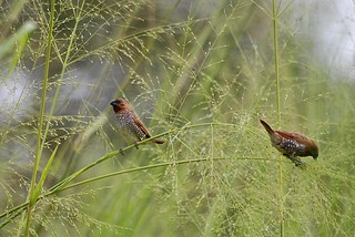 A pair of Scaly-breasted Munias