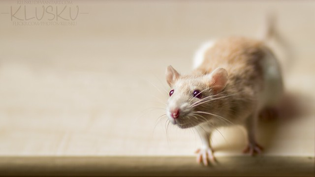 21/52 weeks of rats