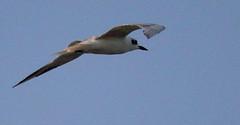 Whiskered tern Non-breeding plumage  (Chlidonias hybridus)
