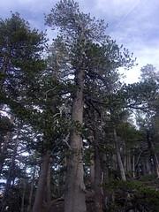 Sierra Lodgepole Pines (Pinus contorta ssp. murrayana)- Pine Mountain (North Backbone Trail)- 6/10/17