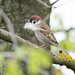 Tree Sparrow (Alexander Barclay)