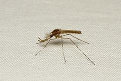 Diptera, Culicidae sp. ♂ (Mosquito) - Everett, WA