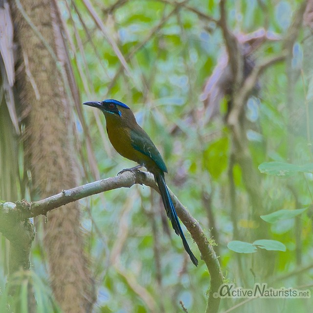 Blue-crowned Motmot 0000 Corcovado, Osa peninsula, Costa Rica