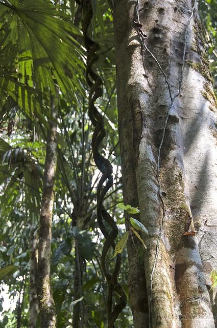 liana 0002 Corcovado, Osa peninsula, Costa Rica