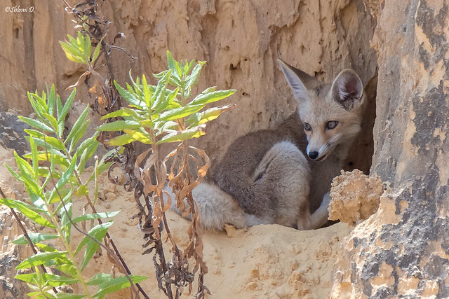 Young red (Palestinian) fox
