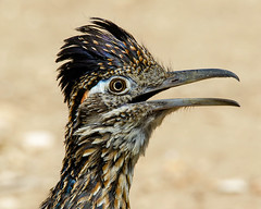 Greater Roadrunner Portrait