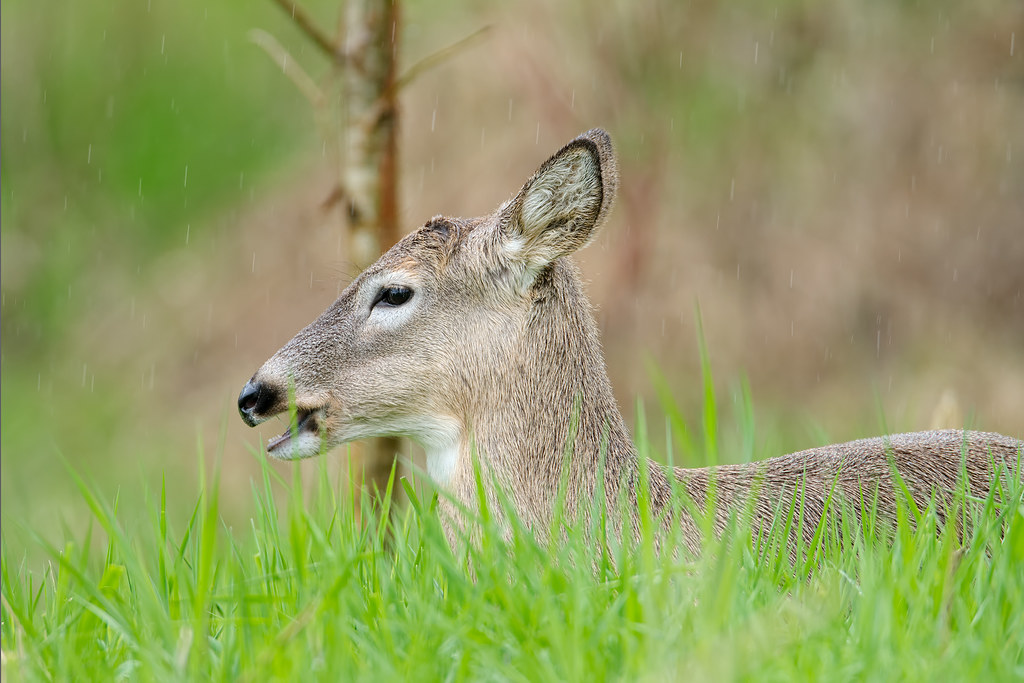 A Columbian white-tailed deer sits in a meadow and eats on a rainy spring morning