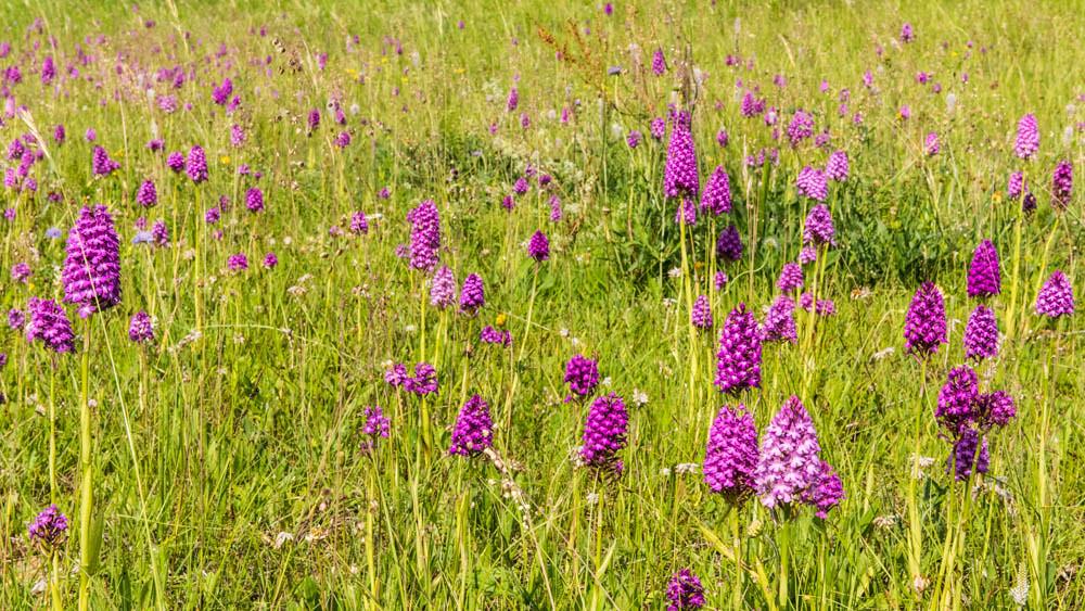 Orchideenwiese_061