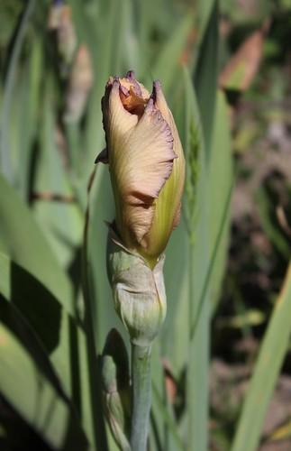 Iris 'Subtilité du Barry' - Rose-Linda Vasquez-Poupin 2009 34782043752_2f826de2ca