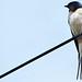 Small photo of Swallow - Wicken Fen