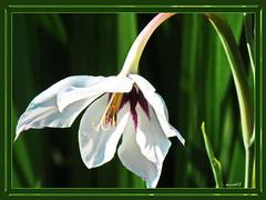 Blüte weiß