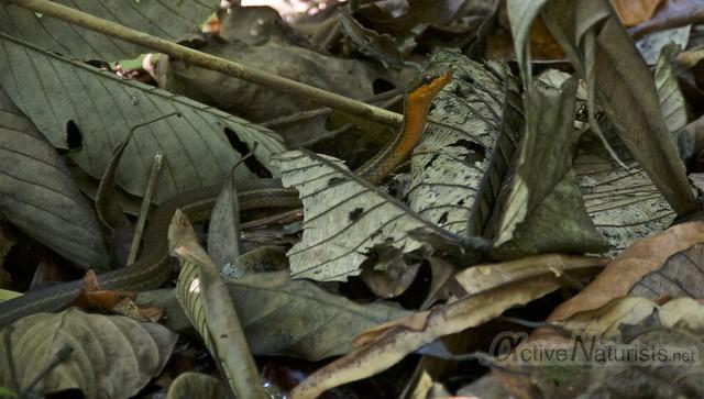 Dendrophidion snake 0000 Corcovado, Osa peninsula, Costa Rica