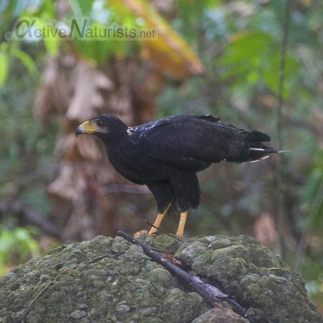 mangrove black hawk 0001 Corcovado, Osa peninsula, Costa Rica