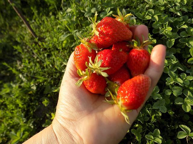 Strawberries in my garden, Nikon COOLPIX L330