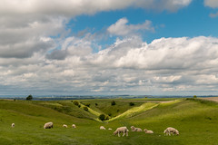 The Ridgeway Path field of sheep