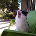 yawning kitty