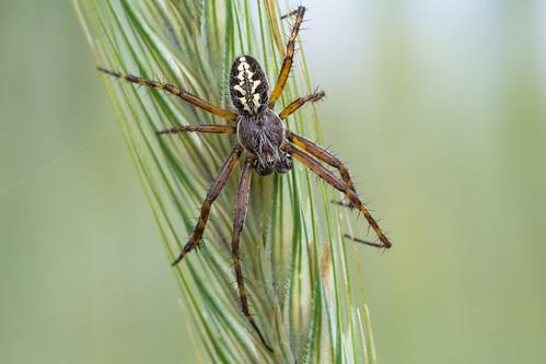 Eichblatt-Radspinne oder Eichblatt-Kreuzspinne (Aculepeira ceropegia, Syn.: Araneus ceropegia)♂