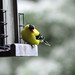 Small photo of American Goldfinch