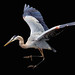 Great blue heron (Ardea herodias) by John's Love of Nature