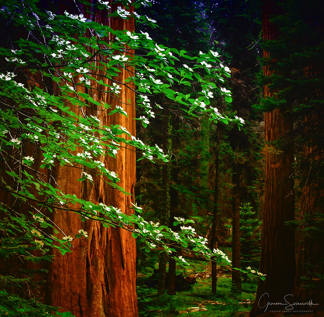 Redwood & Dogwood, Canon EOS 6D, Canon EF 70-200mm f/4L IS