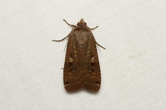 Noctua pronuba (Large Yellow Underwing Moth) - Hodges # 11003.1 - Everett, WA