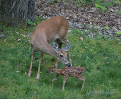 Mama Taking Back Her Fawn