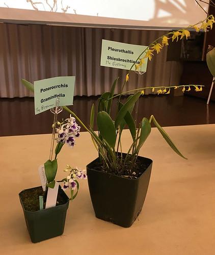 Pleurothallis shiesbrechtiana and Ponerorchis graminifolia