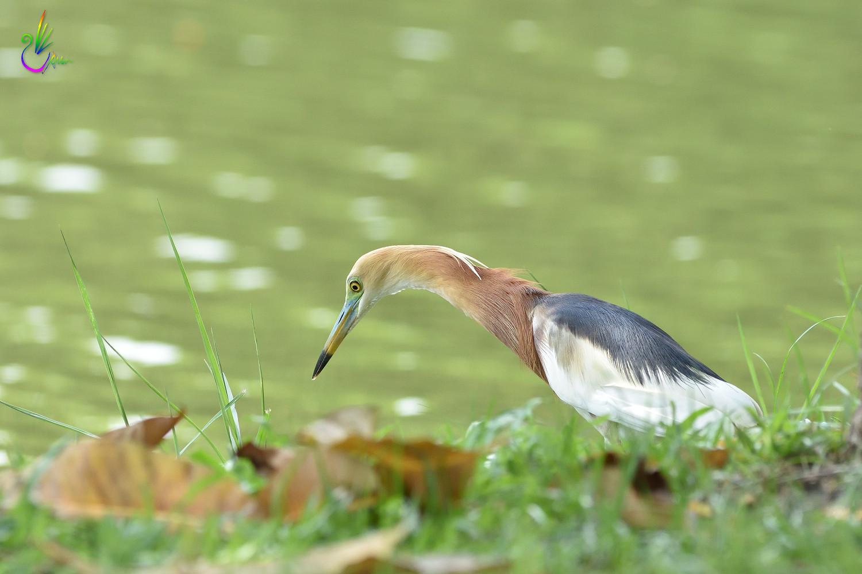 Javan_Pond_Heron_9767