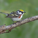 Chestnut sided warbler by Phiddy1
