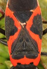Small Milkweed Bug - Lygaeus kalmii, Meadowood Farm SRMA, Mason Neck, Virginia
