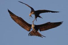 Pair of Magnificent Frigatebirds Inflight Fighting