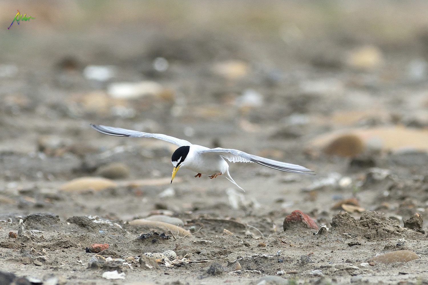 Little_Tern_2074