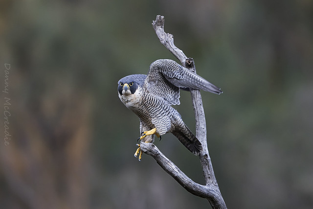 Peregrine Falcon, Morialta Conservation, Canon EOS 7D MARK II, Canon EF 500mm f/4L IS II USM