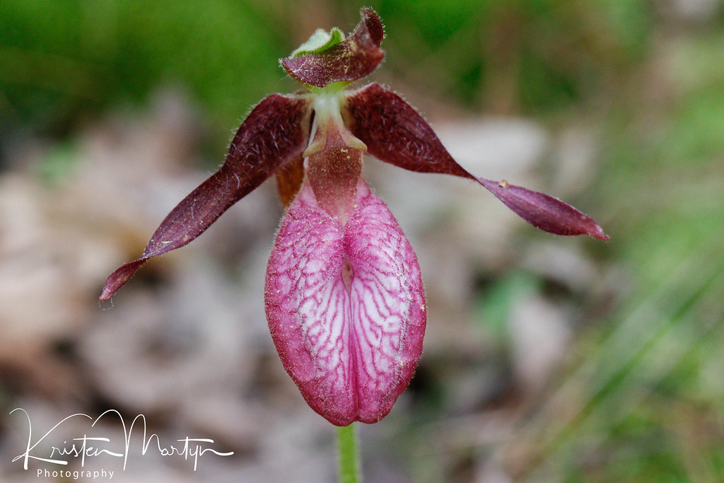 Pink Lady's Slipper Orchid (Cypripedium acaule)