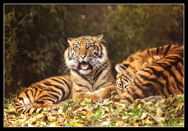 Young Tigers in the Sunshine