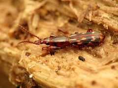 Oak Timberworm