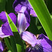 Iris Bloom by Scorpiol13