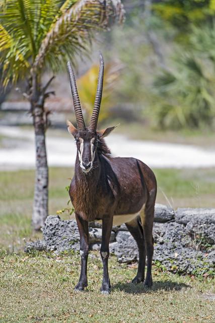 A nice antelope