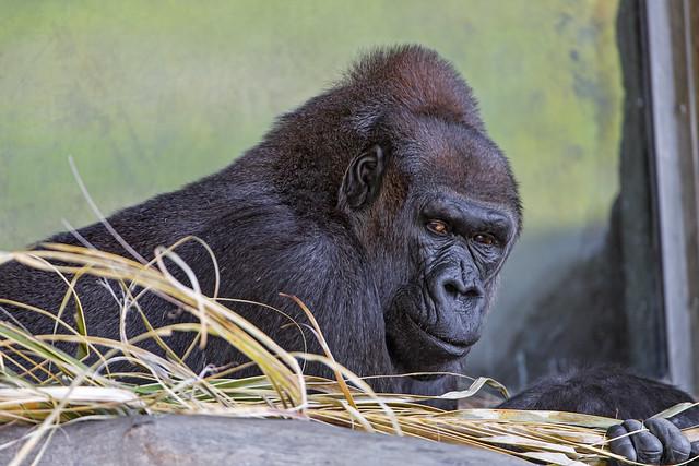 Gorilla in hay