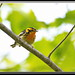Blackburnian Warbler by Gregs eBirds