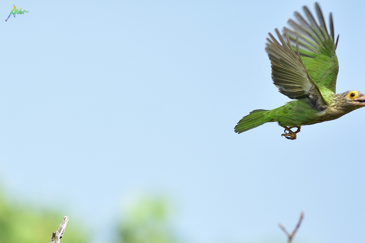 Lineated_Barbet_0839