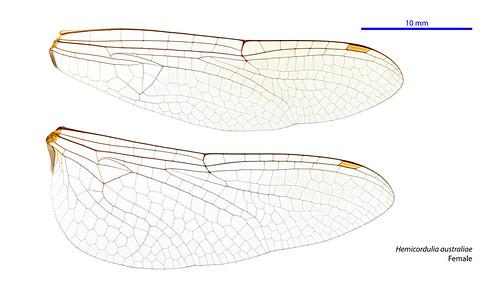 taxonomy:order=odonata taxonomy:family=corduliidae hindwing odonata geo:country=australia australia taxonomy:binomial=hemicorduliaaustraliae forewing corduliidae australianmuseum dragonfly australiae hemicorduliaaustraliae wings hemicordulia australianemerald anisoptera