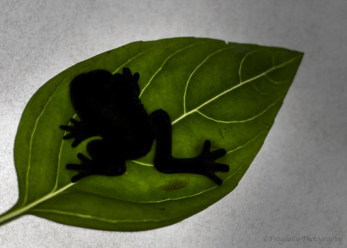 Silhouette Of a Frog