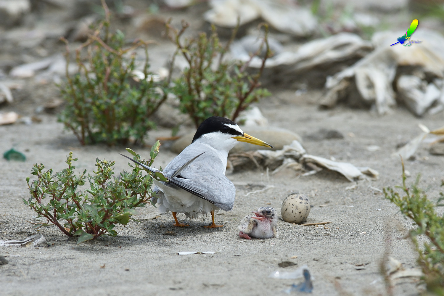 Little_Tern_9127