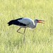 White Stork (Alexander Barclay)
