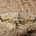 The mocha (Cyclophora annularia) moth from above by Ian Redding