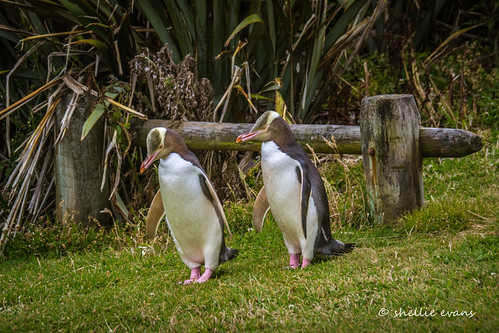 Hoiho/Yellow-Eyed Penguin, Porpoise Bay, Catlins
