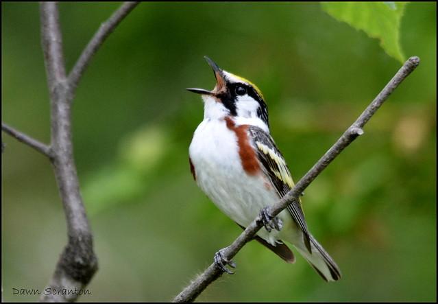 DSC_9155 Chestnut-sided Warbler