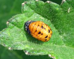 Holder7 Spot Ladybird - Coccinella septempunctata